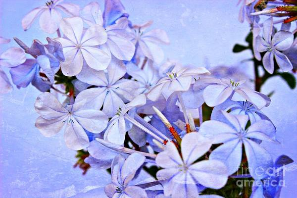 Plumbaginaceae Photograph - A Plumbago Summer 2 by Clare Bevan