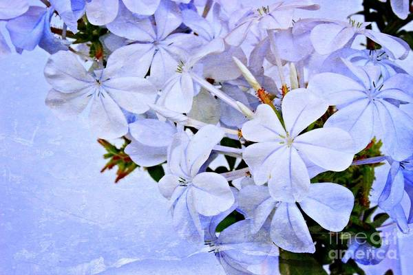Plumbaginaceae Photograph - A Plumbago Summer by Clare Bevan