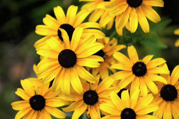 Perky Photograph - A Pool Of Sunshine by Phyllis Taylor