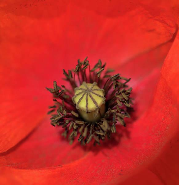 Photograph - A Poppy's Centre by Peter Walkden