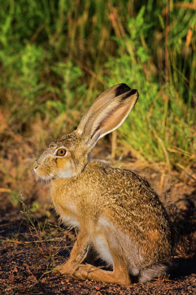 Photograph - A Portrait Of A Hare by John De Bord