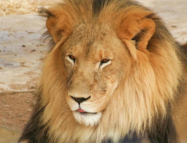 Wall Art - Photograph - A Portrait Of An African Lion Male by Derrick Neill
