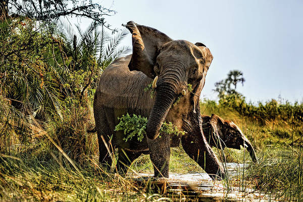 Photograph - A Protective Mama Elephant With Calf  by Kay Brewer