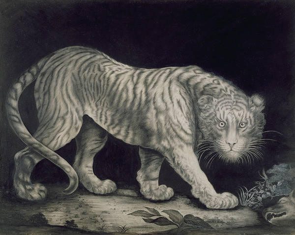Etching Drawing - A Prowling Tiger by Elizabeth Pringle