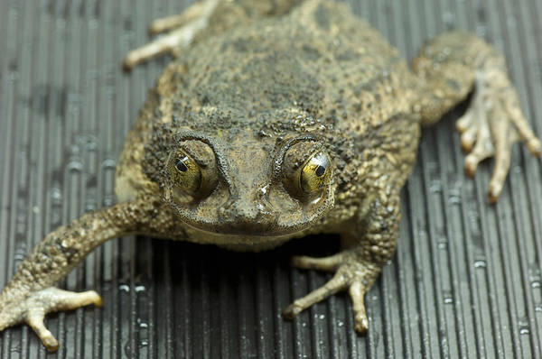 Puerto Rican Photograph - A Puerto Rican Crested Toad Bufo Lemur by Joel Sartore
