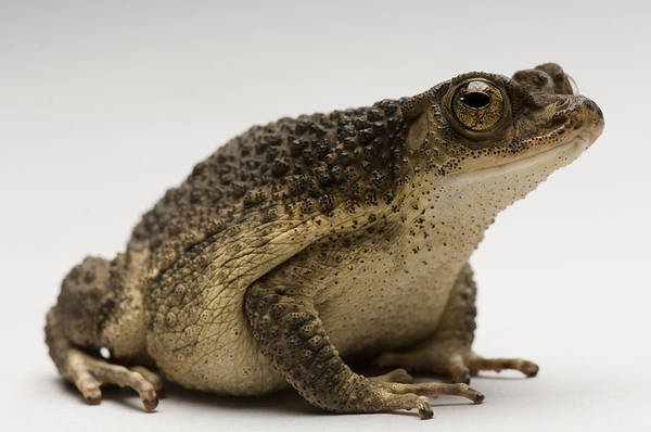 Puerto Rican Photograph - A Puerto Rican Crested Toad Peltophryne by Joel Sartore