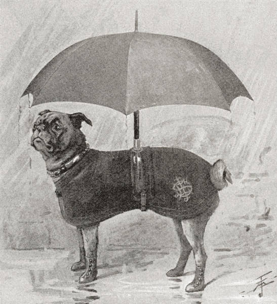 Amuse Drawing - A Pug Wearing Boots, Coat And Umbrella by Vintage Design Pics