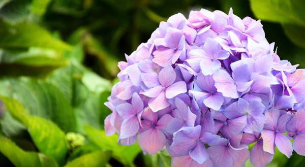 Brillante Photograph - a Purple hydrangea  by HQ Photo