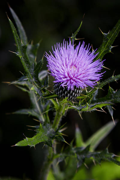 Photograph - A Purple Thistle by Ken Barrett