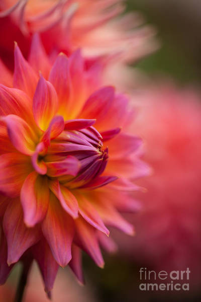 Dahlias Photograph - A Rainbow Of Dahlias by Mike Reid