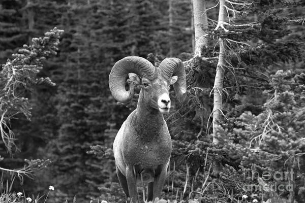 Photograph - A Ram In The Forest by Adam Jewell