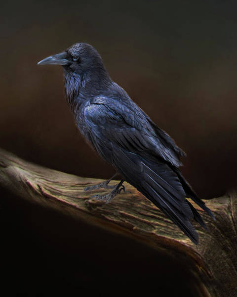 Wall Art - Photograph - A Ravens Attitude by Lana Trussell