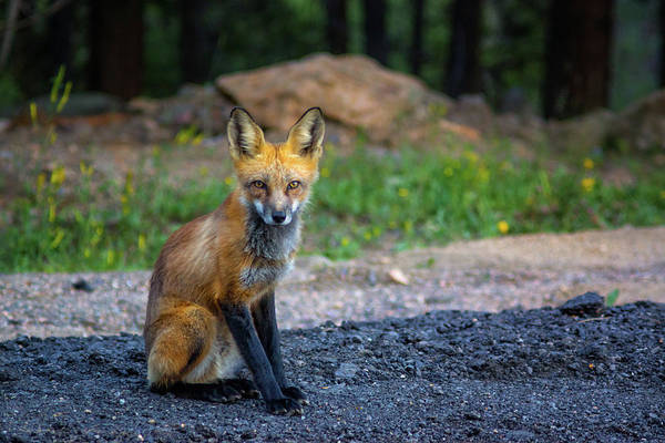 Photograph - A Red Fox Stare by John De Bord
