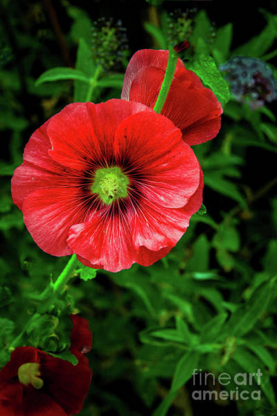 A Red Hollyhock Art Print
