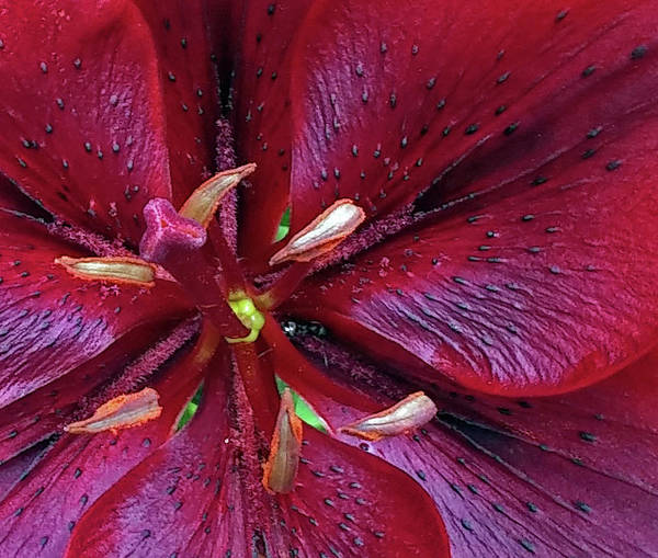 Wall Art - Photograph - A Red Lily by Janis Beauchamp