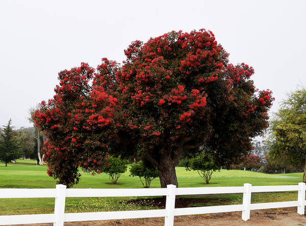 Photograph - A Red Pin Under A Red Tree At Morro Bay Golf Course by Barbara Snyder