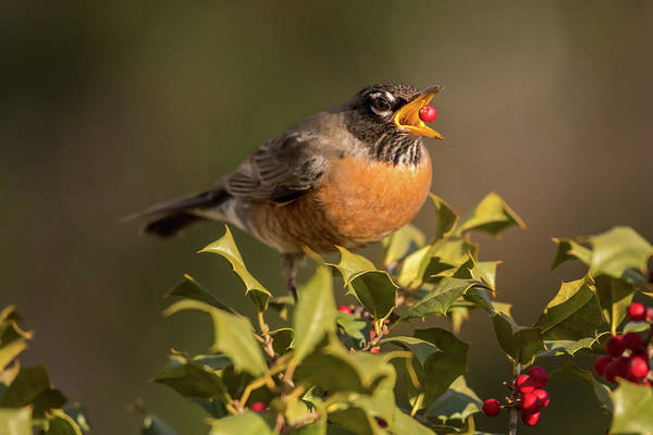 Wall Art - Photograph - A Robin And Berry by Terry DeLuco