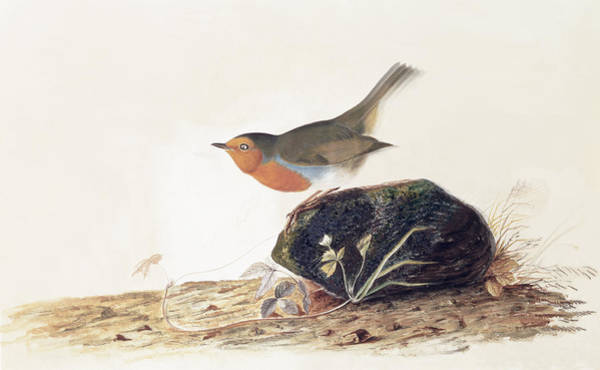 Wall Art - Painting - A Robin Perched On A Mossy Stone by John James Audubon