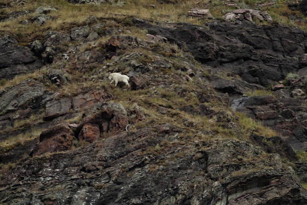 Photograph - A Rocky Landscape And A Mountain Goat No. 4 by Belinda Greb