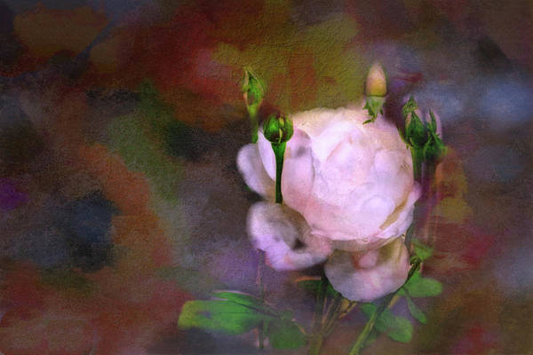 Wall Art - Painting - A Rose by Ches Black