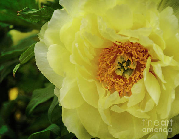 Photograph - A Rose In Bloom by Debra Fedchin