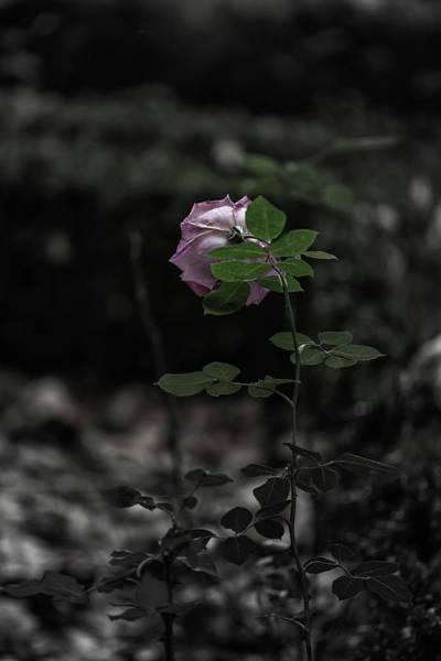 Photograph - A Rose In The Dark by Edgar Laureano