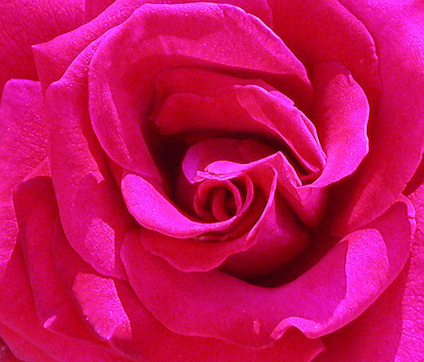 Photograph - A Rose Is A Rose Is A Rose by Anne Cameron Cutri