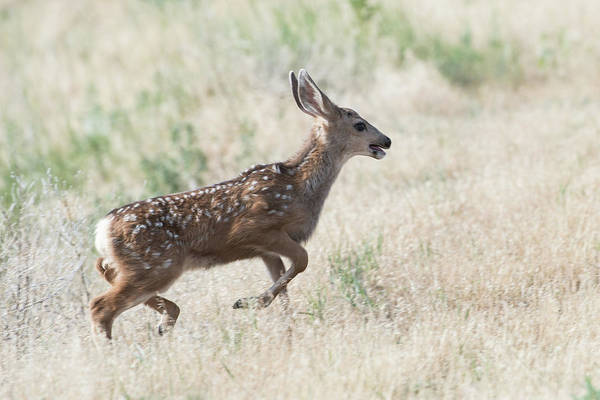 Wall Art - Photograph - A Running Deer by Catherine Lau