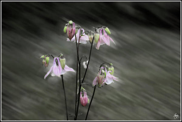 Photograph - A Rush Of Columbine by Wayne King
