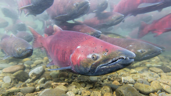 Chinook Salmon Photograph - A School Of Chinook Salmon by Tim Grams