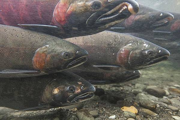 Chinook Salmon Photograph - A School Of Salmon- Abstract  by Tim Grams