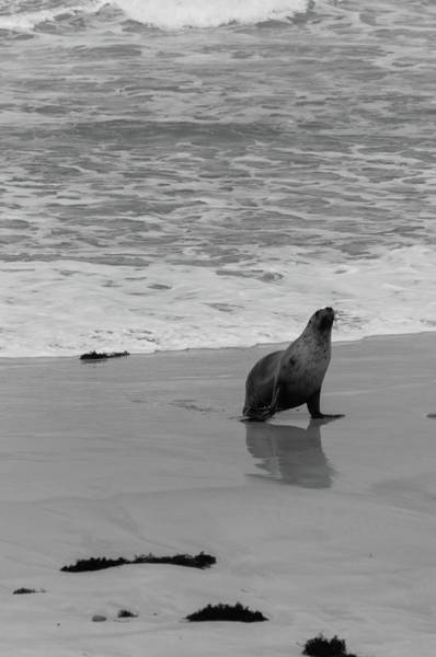 Wall Art - Photograph - A Sea Lion Walking On The Beach by Davide Devecchi