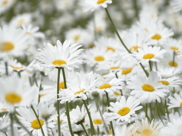 Photograph - A Sea Of Daisies by Mary Vinagro