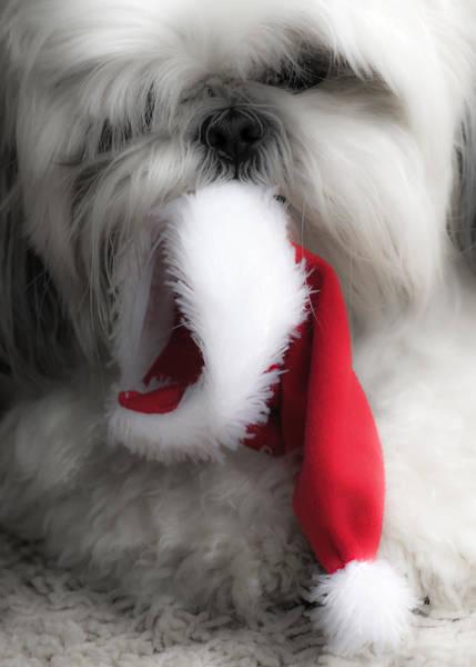 Naughty Dog Wall Art - Photograph - A Shih Tzu Christmas by Joy McAdams