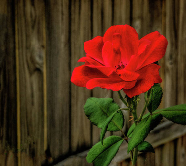 Photograph - A Simple Beauty by Dave Bosse