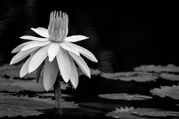 Photograph - Waterlily Perfection Bw by Dawn Currie