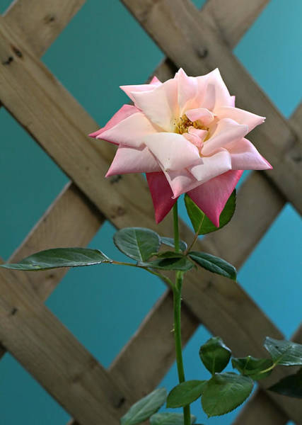 Wall Art - Photograph - A Single Rose. by Celestial  Blue