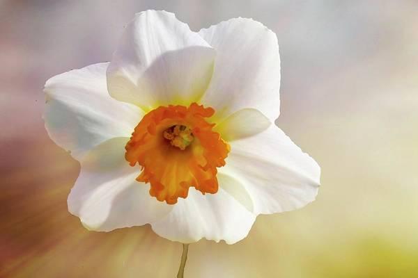 Digital Art - A Single Soft Daffodil by Rusty R Smith