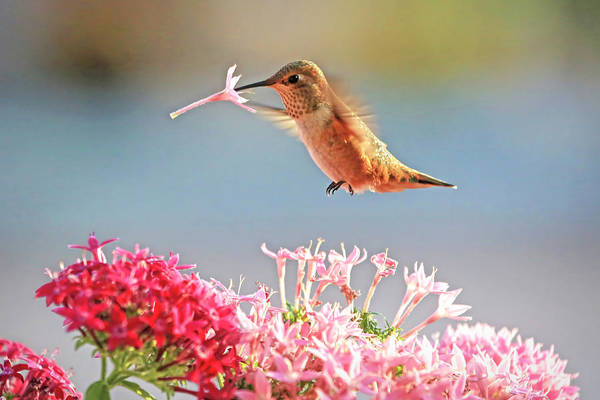 Rufous Photograph - A Sip To Go by Donna Kennedy