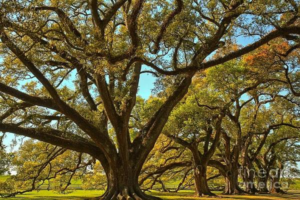 Photograph - A Sky Full Of Oaks by Adam Jewell