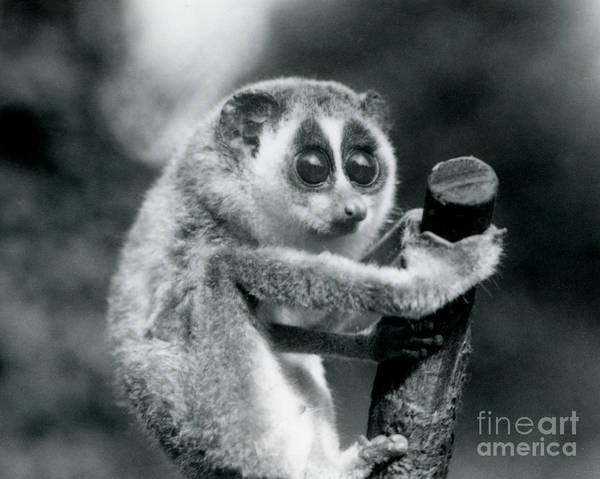 Hanged Photograph - A Slender Loris Holding On To The End Of A Branch by Frederick William Bond