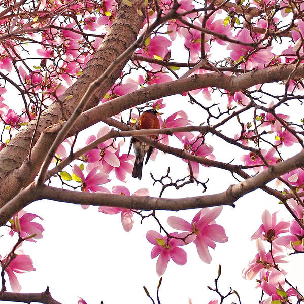 Photograph - A Songbird In The Magnolia Tree - Square by Rona Black
