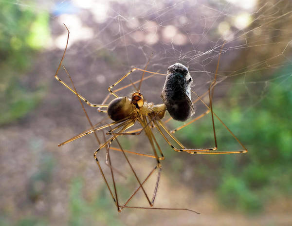 Daddy Long Legs Photograph - A Spider Has This Fly All Wrapped Up by Derrick Neill