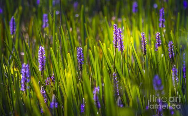 Aquatic Plants Photograph - A Splash Of Sunshine by Marvin Spates