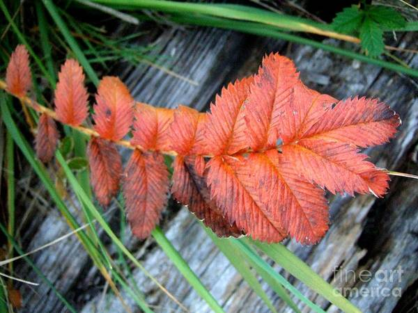 Photograph - A Spot Of Fall Color by Delores Malcomson