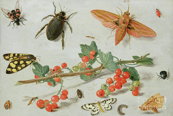 Wall Art - Painting - A Sprig Of Redcurrants With An Elephant Hawk Moth, A Magpie Moth And Other Insects, 1657 by Jan Van Kessel