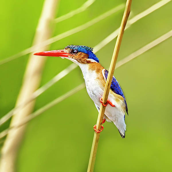 Photograph - A Square Malachite Kingfisher by Kay Brewer