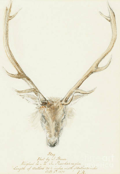 Antlers Drawing - A Stag Shot By John Brown by Queen Victoria