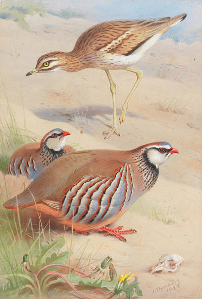 Wall Art - Painting - A Stone Curlew And A Pair Of French Partridge by Archibald Thorburn