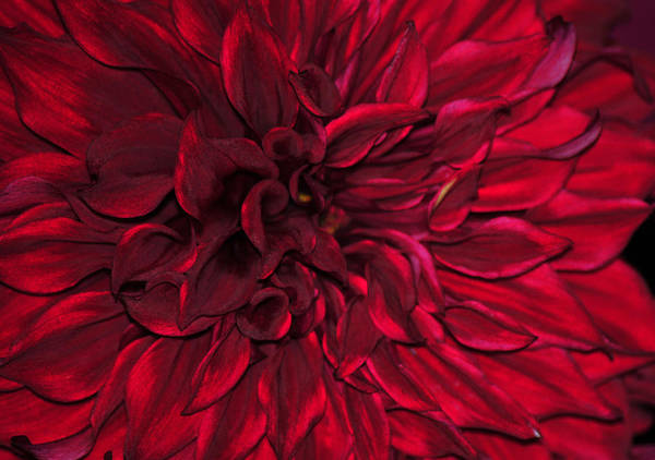 Wall Art - Photograph - A Study In Red by J DeVereS